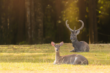 Beautiful deer resting in nature.