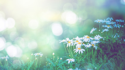 background natural Field daisies in a dream atmosphere.