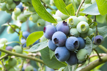 close-up of blueberry varieties Patriot on the plant