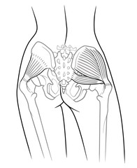 Detail of woman pelvic girdle, The internal structure of the pelvic girdle female skeleton and gluteus minimus muscle, gluteus medius muscle and piriformis,  rear view. On a white background