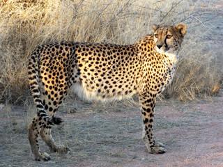 The Gepard