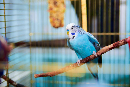Home Wavy parrot with blue plumage sits on a perch
