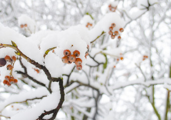 Snowy viburnum berries. The red guelder-rose covered with snow. Winter background