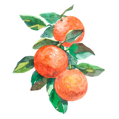 Watercolor branch with oranges fruits isolated on a white background illustration.