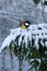Tit sitting on spruce branches