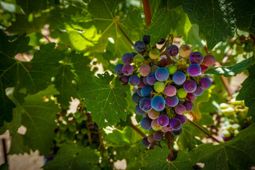 Grape cluster in a vineyard in the Napa Valley Wine making region of California