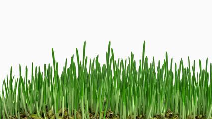 Rasen Keimlinge.