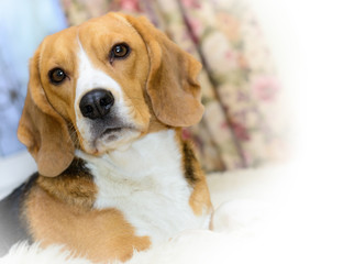 Portrait of an adorable Beagle dog