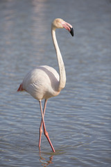 Greater Flamingos of Camargue France