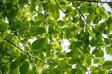 fresh green elm leaves