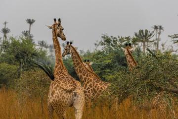 Três girafas selvagens na selva