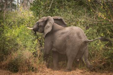 Elefante a entrar na selva