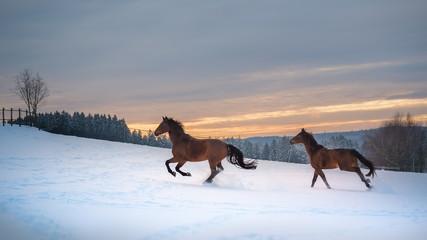 Zwei Westfalen Pferde galoppieren im Schnee bei Sonnenuntergang