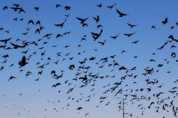 Flock of birds Rook and Jackdaw, Corvus Frugilegus
