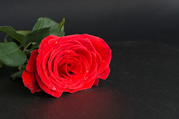 Valentine's card. Red rose on black background and place for your text. Isolated. Close up.