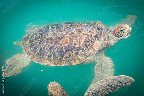 quotgiant sea turtle is swimming in the poolquot stok g246rseller