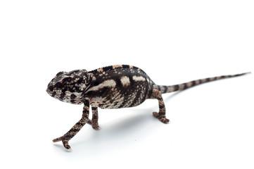 chameleon lizard isolated on white