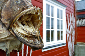 Dead fish on building exterior, Lofoten, Nordland, Norway
