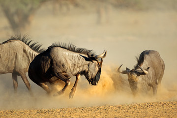 Two blue wildebeest Connochaetes taurinus) fighting, Kalahari desert, South Africa.