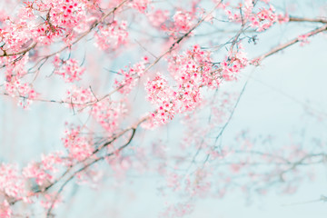 Branches of beautiful Cherry blossoms or Sakura flower in vintag