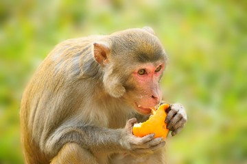 Close up of a monkey eating an orange.