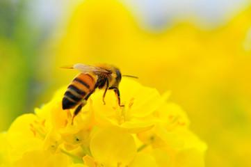 菜の花にとまるミツバチ(アップ)