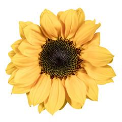 Shiny yellow sunflower, isolated on white