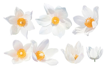 White snowdrops (Pulsatilla patens) isolated on white background. Set of white snowdrops. The spring flowers grow in Western Siberia. Red List species