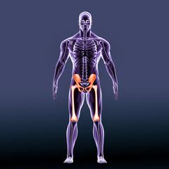 Anatomy of the hip. Human femur and pelvis 3d illustration