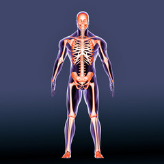 3d illustration human body skeleton