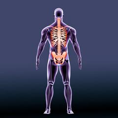 3d rendered Illustration of human skeleton back view