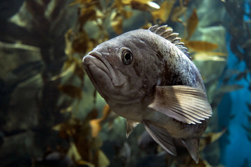 Fish Largemouth bass (Micropterus salmoides) ,close up detail