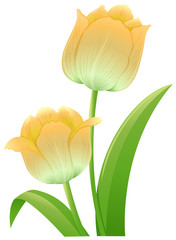 Yellow tulip flowers on white background