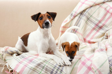 Jack Russell terrier with cute puppy on sofa at home