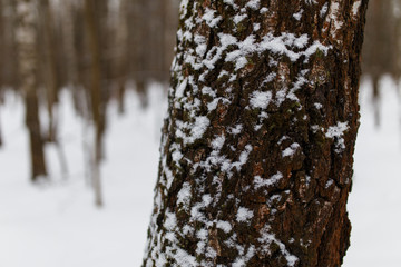 Winter trees in forest close-up