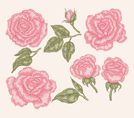 Elegant pink rose flowers and leaves in vintage style. Hand drawn vector