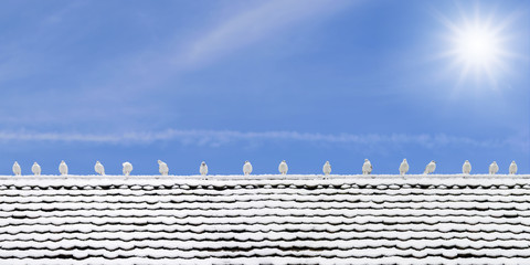 Many seagulls perched on a wooden roof covered with snow in the winter in the city of Lucerne, Switzerland.