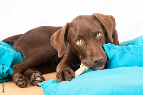 labrador welpe frisst einen knochen imagens e fotos de stock royalty free no. Black Bedroom Furniture Sets. Home Design Ideas
