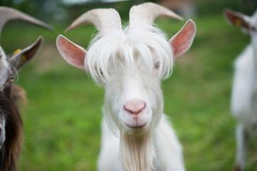Weißer Ziegenbock mit lustiger Frisur