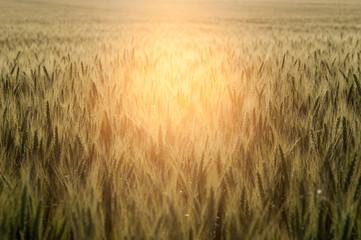 Getreidefeld im Gegenlicht