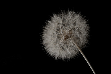 Dandelion seed.Abstract macro photo.Artistic Background