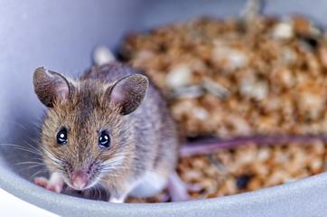 Mouse portrait in grain bowl