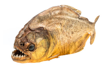 Piranha fish on isolated with white background