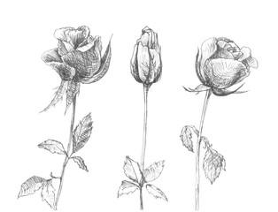Hand drawn romantic roses