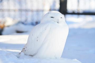 雪の上のシロフクロウ