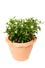 Orange jasmine in clay pots