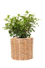 Orange jasmine in wicker pots