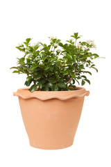 Orange jasmine in clay pots