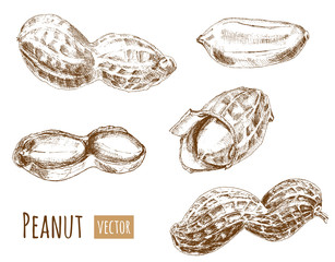Set of peanuts, whole nuts, shelled, hand draw sketch, outline on white background, vector illustration, vintage