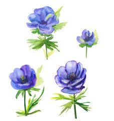 Set of blue flowers, anemone, stems and leaves on white background, hand draw watercolor painting, botanical illustration, vintage